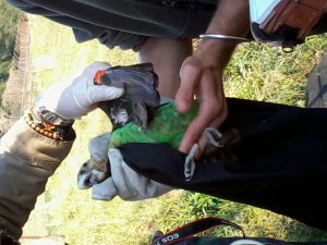 Blood sample, measurements and weight being taken from a Cape Parrot
