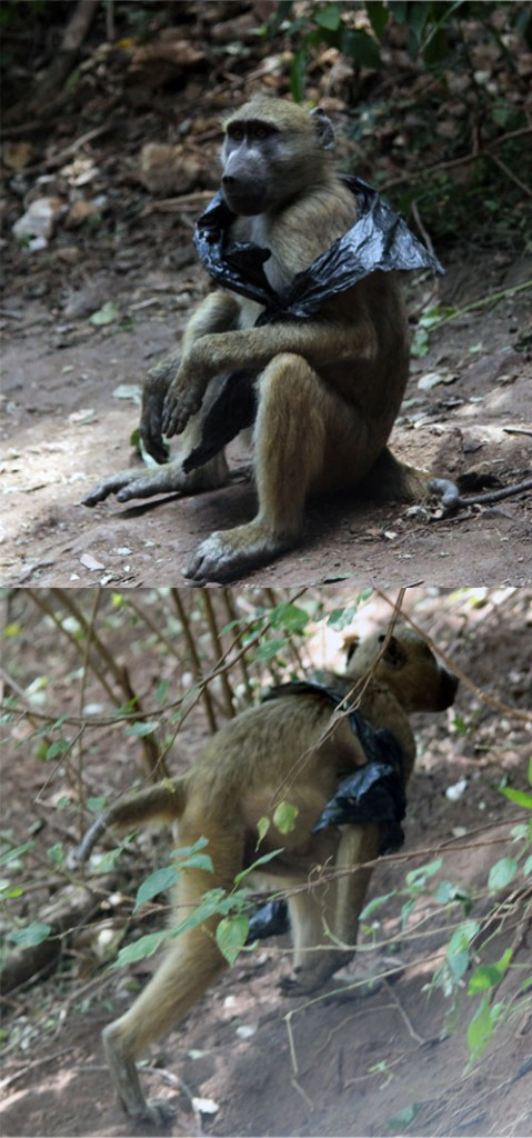 Baboon and his bag